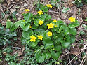 2018-04-09_(120)_Caltha_palustris_(marsh