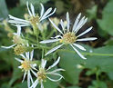 Eurybia_macrophylla_kz1.jpg