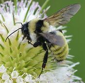 Golden_Northern_Bumble_Bee_(Bombus_fervidus)_(14855286195)_edited_edited.jpg