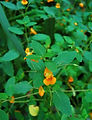 Jewel_Weed_Impatiens_capensis_Leaves_and_Flower_2600px.jpg