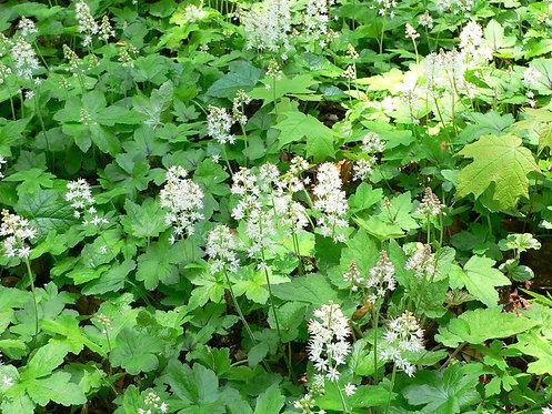 Tiarella cordifolia (Heartleaf foamflower)