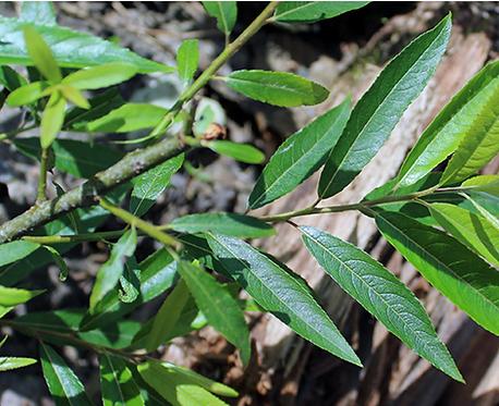 Salix petiolaris (Meadow willow)
