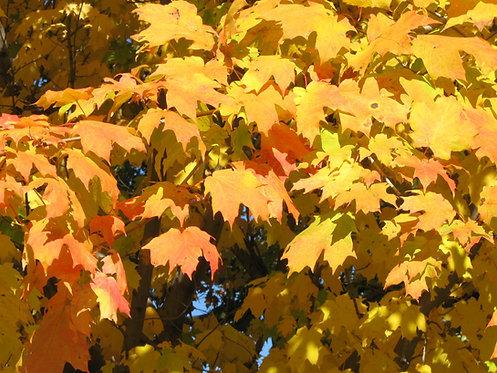 Acer saccharum (Sugar maple)