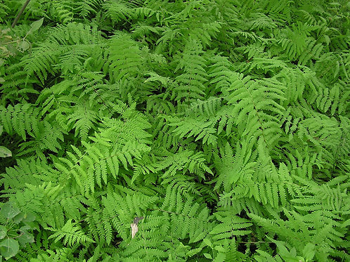 Thelypteris palustris (Marsh fern)