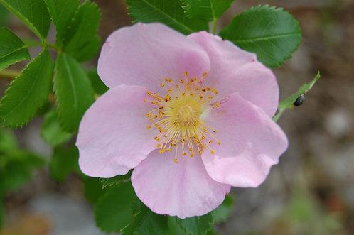 Rosa Carolina (Carolina rose)