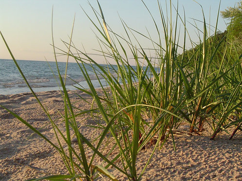 Ammophila breviligulata (American beach grass)