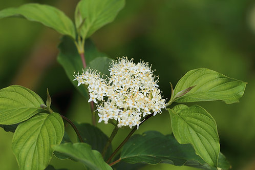 Swida sericia (Red-twig dogwood)