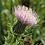 Thumbnail: Cirsium discolor (Field thistle)