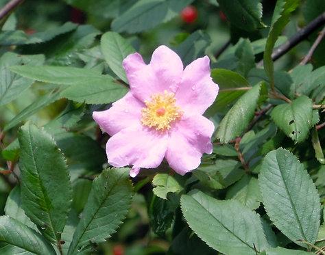 Rosa palustris (Wetlands rose)