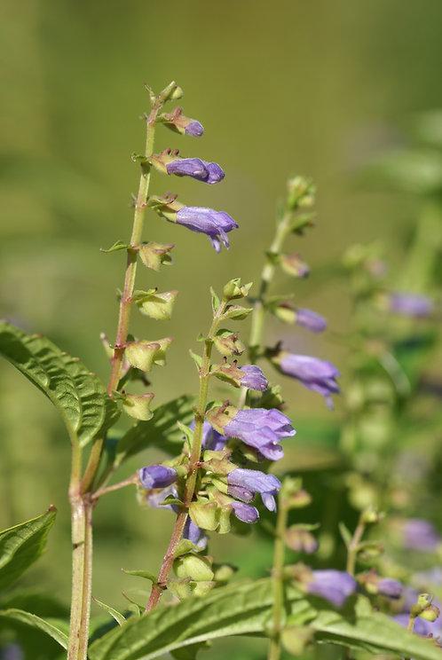 Scutellaria lateriflora (Blue skullcap)
