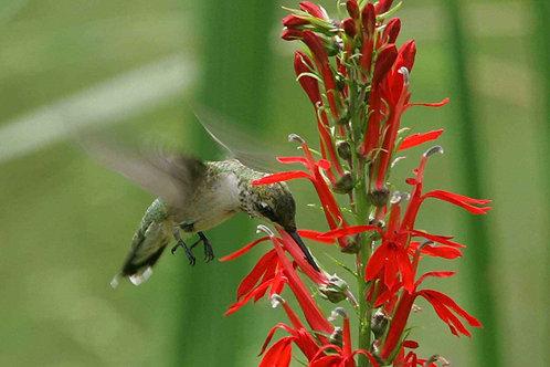 Hummingbird plant kit