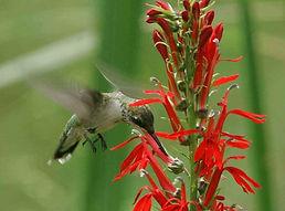 hummingbirds, wildlife, birds