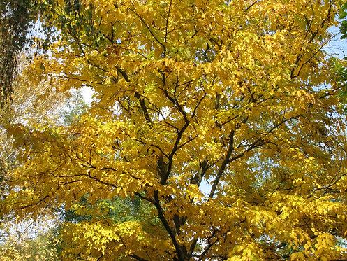 Betula lenta (Sweet birch)