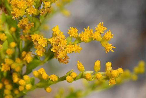 Solidago sempervirens (Seaside goldenrod)