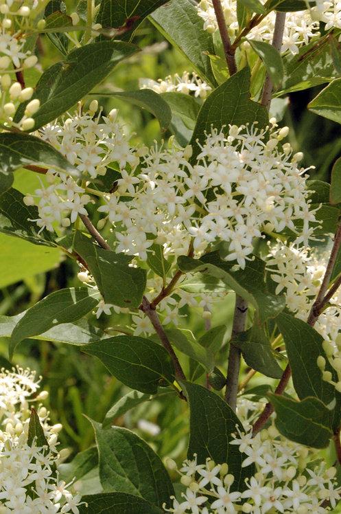 Swida racemosa (Gray dogwood)