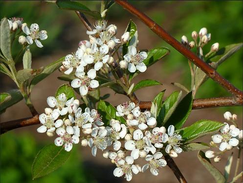 Aronia arbutifolia (Red chokeberry)