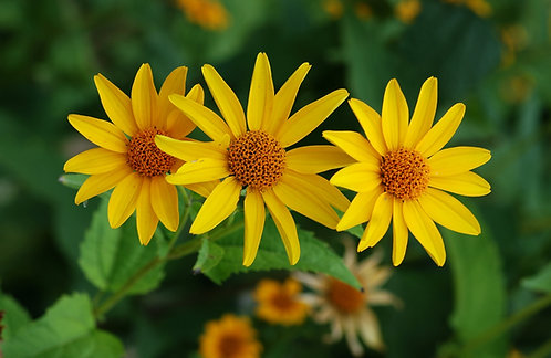 Heliopsis helianthoides (Everlasting sunflower)