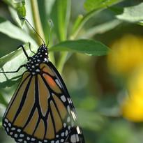 Monarch-butterfly-Britt-Drews.JPG