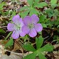 Geranium_maculatum_-_Wild_Geranium_2.jpg
