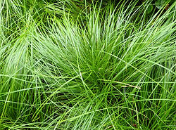 native lawn