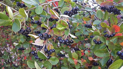 Aronia prunifolia (Purple chokeberry)