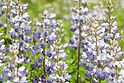 Lupinus_perennis_in_flower.jpg