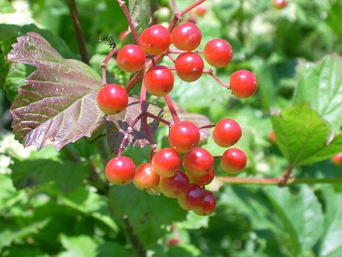 Viburnum trilobum (American cranberrybush)