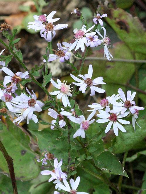 Symphyotrichum cordifolium (Heart leaved aster)