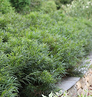 Comptonia peregrina (Sweet fern)
