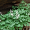 Thumbnail: Dicentra cucullaria (Dutchman's breeches)