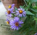 Symphyotrichum_novae-angliae_flower_(01)