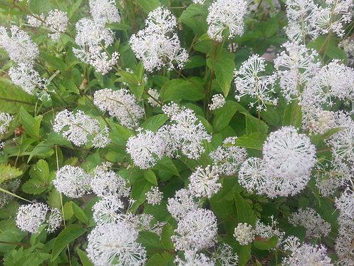 Ceanothus americanus (New Jersey tea)