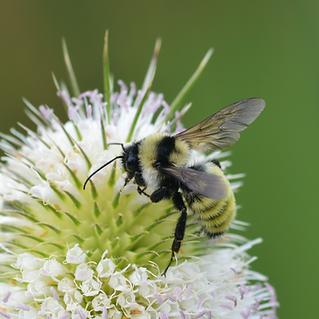 Golden_Northern_Bumble_Bee_(Bombus_fervi
