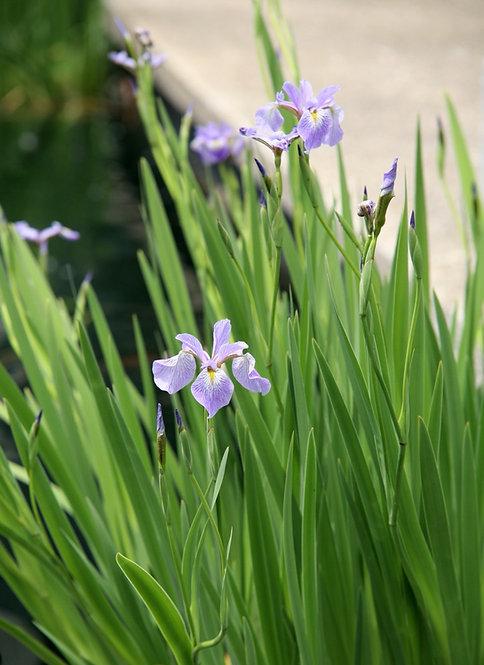 Iris versicolor (Blue flag iris)