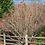 Thumbnail: Viburnum trilobum (American cranberrybush)