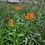 Thumbnail: Asclepias tuberosa (Butterfly milkweed)
