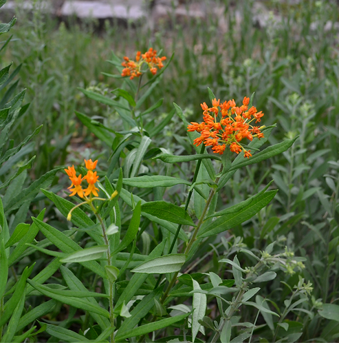 Asclepias tuberosa (Butterfly milkweed)