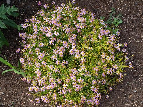 Coreopsis rosea (Pink tickseed)