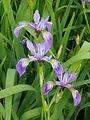 Iris_versicolor_1.jpg