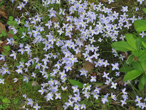 Houstonia caerulea (Azure bluets)