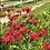 Thumbnail: Monarda didyma (Scarlet bee balm)