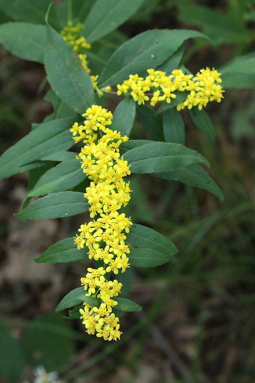 Solidago caesia (Wreath goldenrod)