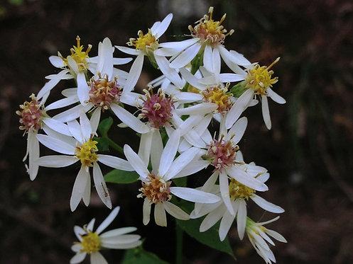 Eurybia divaricatus (White wood aster)