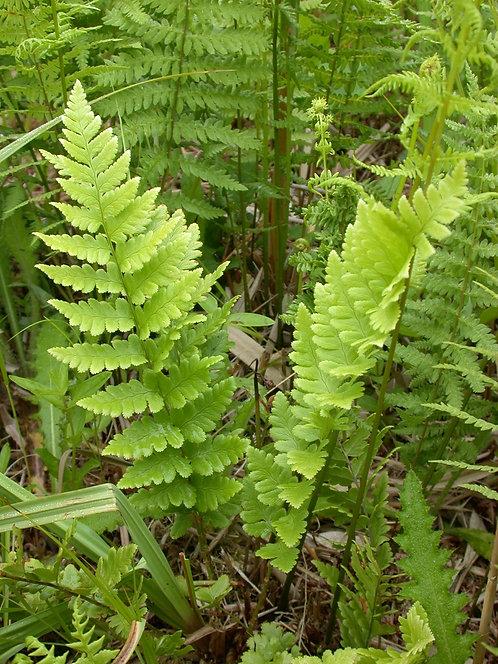 Dryopteris cristata (Crested wood fern)