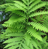 Onoclea sensibilis (Sensitive fern)