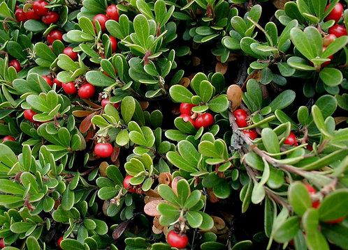 Arctostaphylos uva-ursi (Bearberry)