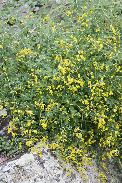 Baptisia tinctoria (Small yellow wild indigo)