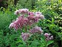 Eutrochium_purpureum_(6014019908).jpg