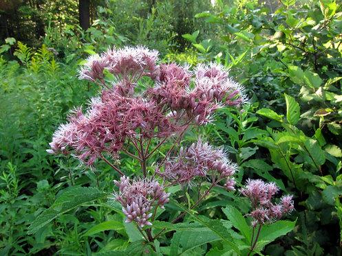 Eutrochium purpureum (Sweet Joe Pye weed)