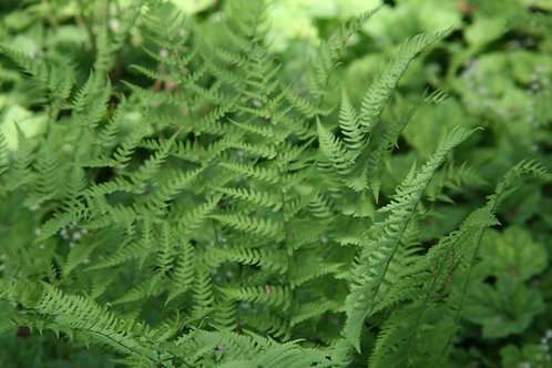 Dryopteris marginalis (Marginal wood fern)
